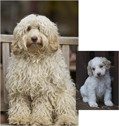 Before and After - THE COCKAPOO CLUB OF GB