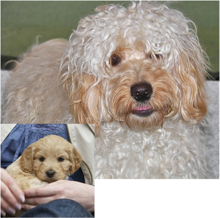 Cockapoo Adult Picture