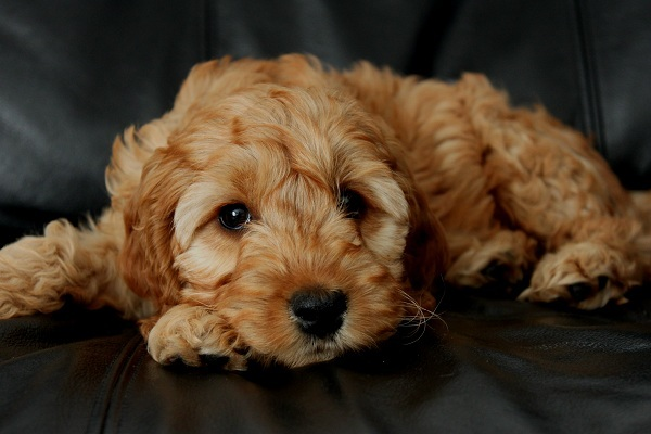 Coat Colour Gallery - THE COCKAPOO CLUB OF GB