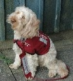 Iris the Cockapoo Hearing Dog