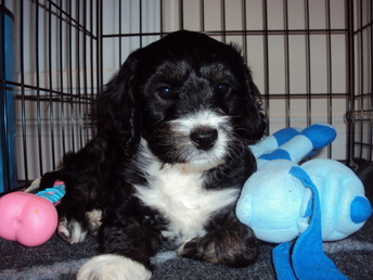 Cockapoo Puppy in a crate