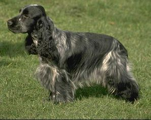English Show Cocker Spaniel