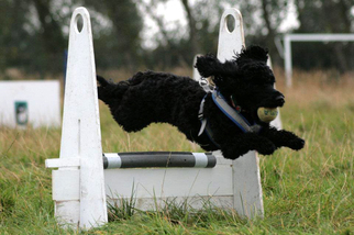 Cockapoo Flyball